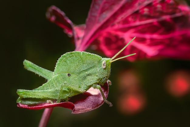 Grilo verde que está em uma superfície de madeira.