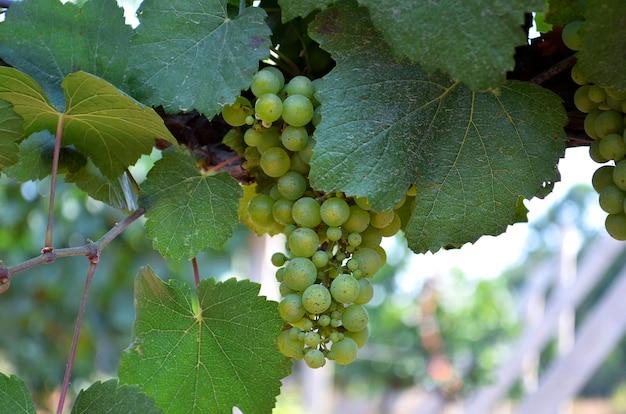 Grona amadurecendo uvas brancas na vinha close-up