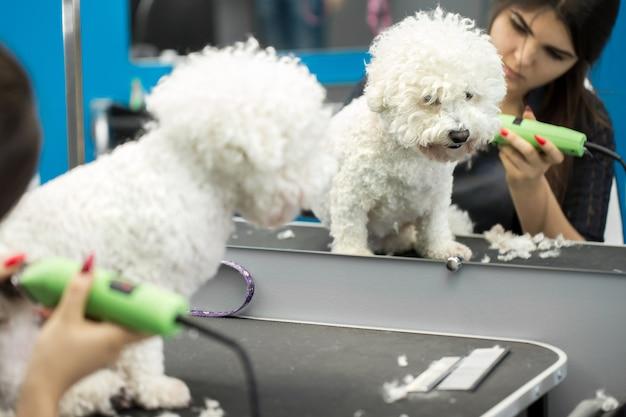 Groomer aparando um cachorrinho bichon frise com um cortador de cabelo elétrico