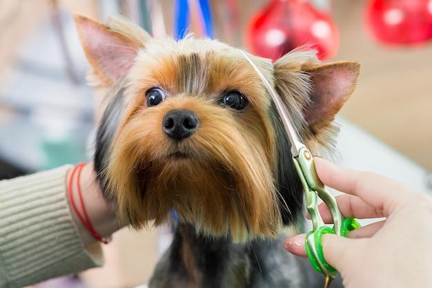 Groomer corta a cara do cachorro, faz um corte de cabelo da moda no salão de tosa