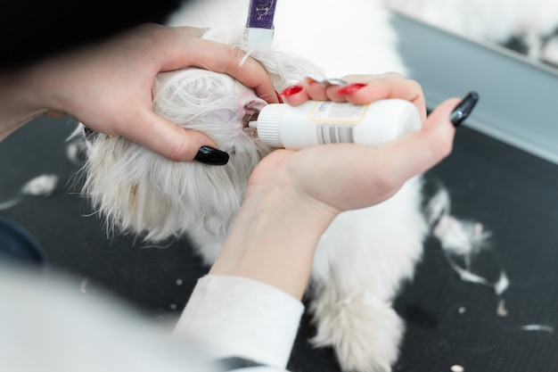 Groomer limpa as orelhas de um cachorro branco bolonka bolognese
