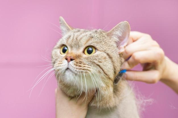 Grooming do gato, penteando a lã.