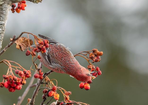 Grosbeak de pinheiro, pinicola enucleator, pássaro masculino alimentando-se de bagas de sorbus