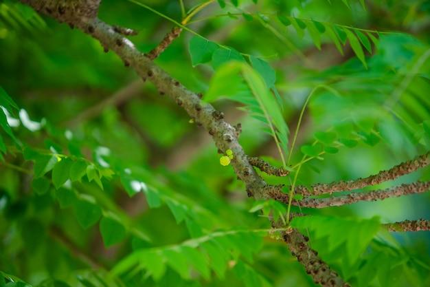 Groselha estrela na árvore