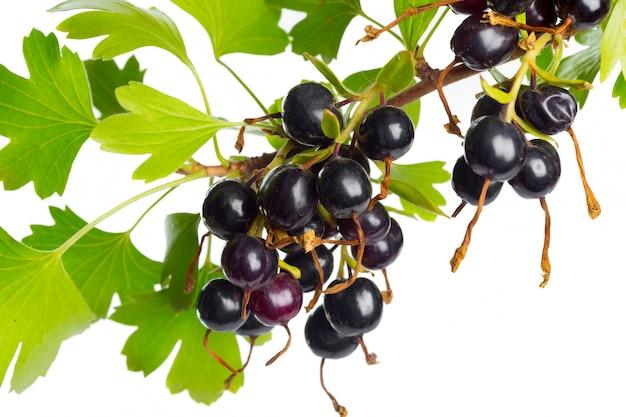 Groselha preta das bagas com folha verde. fruta fresca, isolada.