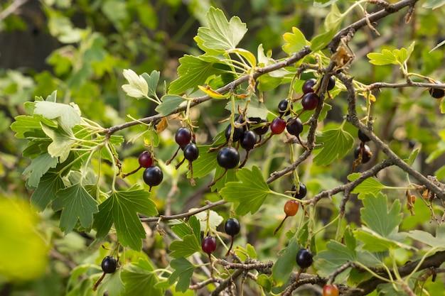 Groselha preta fresca e folhas no galho no jardim de verão leve