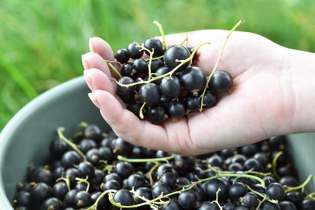 Groselha preta. mão do agricultor feminino segurando um monte de grandes groselhas sobre um balde de frutas.