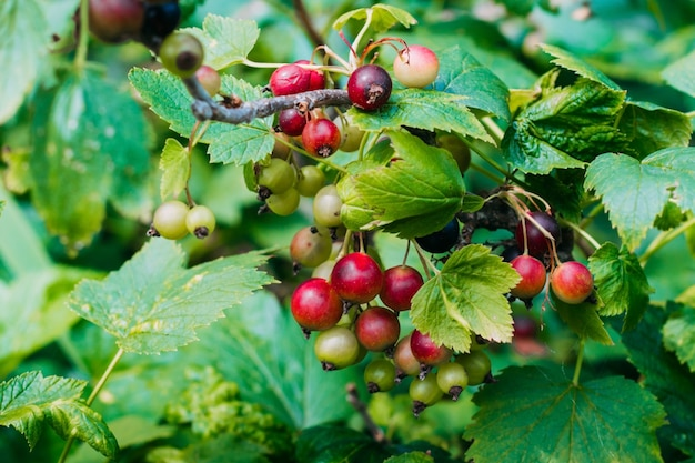 Groselha preta verde e madura em um close-up do arbusto. groselha preta vintage no jardim