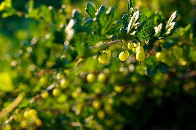 Groselhas crescem em um arbusto no jardim