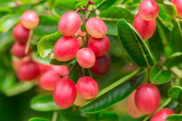 Groselhas de bengala carissa carandas frescas maduras na árvore
