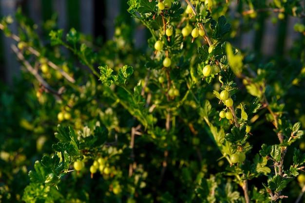 Groselhas iluminadas pelo sol crescem em arbustos no jardim
