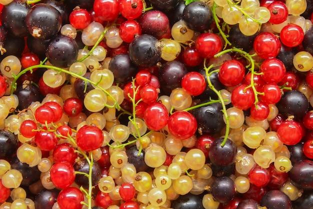 Groselhas maduras, pretas, vermelhas e brancas