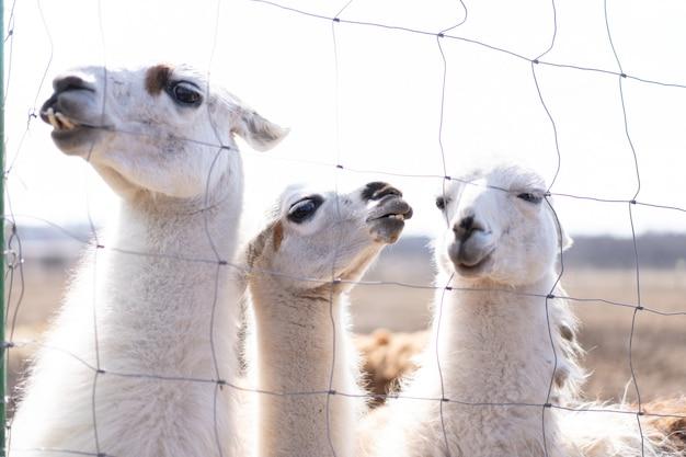 Grupo animal fofo, alpaka lama, na fazenda ao ar livre, com dentes engraçados