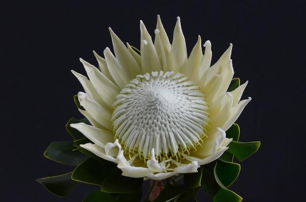 Grupo da flor do protea do rei em um fundo isolado preto. fechar-se. para o projeto. natureza.