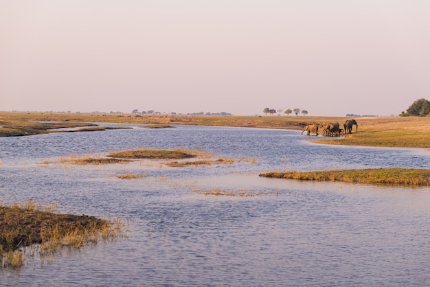 Grupo de água potável dos elefantes africanos do rio de chobe no por do sol. chobe national park, namíbia botswana fronteira, áfrica.