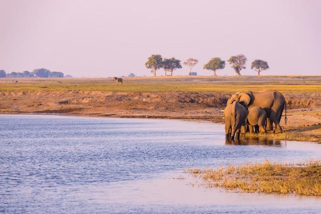 Grupo de água potável dos elefantes africanos do rio de chobe no por do sol. o safari e o barco dos animais selvagens cruzam no parque nacional de chobe, beira de namíbia botswana, áfrica.