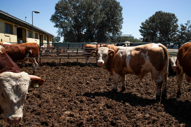 Grupo de animais domésticos de touros fortes e musculosos para produção de carne em fazenda orgânica.