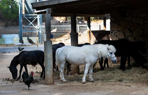 Grupo de animais domésticos e animais de estimação na fazenda. pônei com cabelo na cara e galo no rancho na ensolarada zona rural. pôneis em miniatura no verão em pé e comendo feno. grupo de cavalos comendo grama.