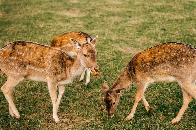 Grupo de animais selvagens dos cervos das ovas no jardim zoológico ao ar livre no verão.