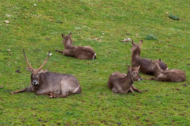 Grupo de animais waterbuck
