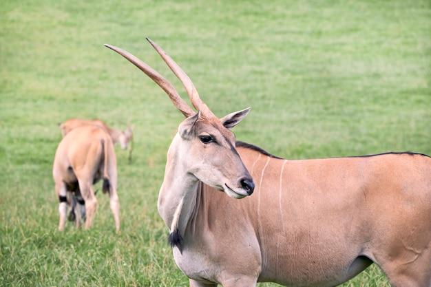 Grupo de antílopes elands comer em uma pradaria verde