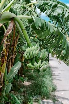 Grupo de bananas verdes verdes que são colhidas no mesmo galho de uma bananeira.