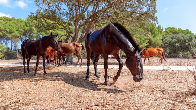 Grupo de belos cavalos (cavalo menorquin) relaxa à sombra das árvores. menorca (ilhas baleares), espanha