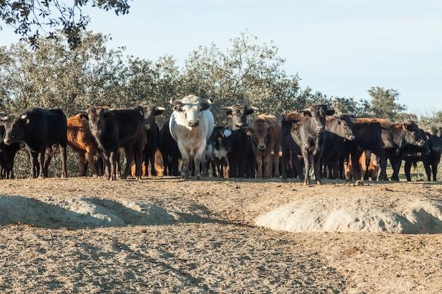 Grupo de bezerros touros, no pasto de extremadura na espanha