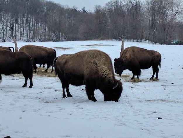Grupo de bisões limpando e pastando em um terreno coberto de neve com árvores sem folhas