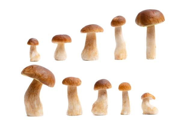 Grupo de boné marrom boletus edulis isolado no fundo branco. cogumelos comestíveis na cozinha. ninguém