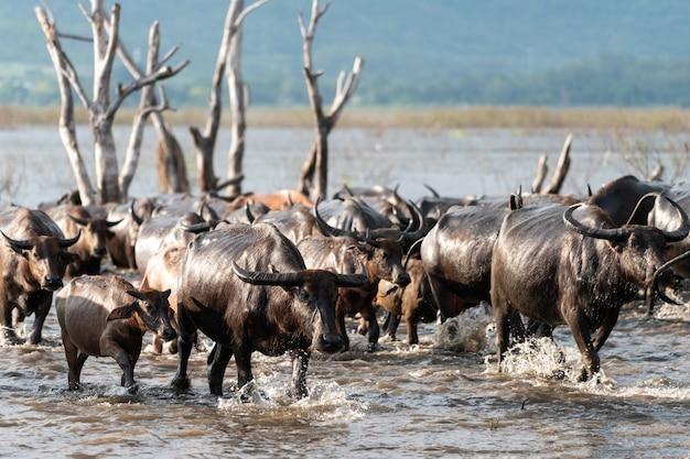 Grupo de búfalos em um rio