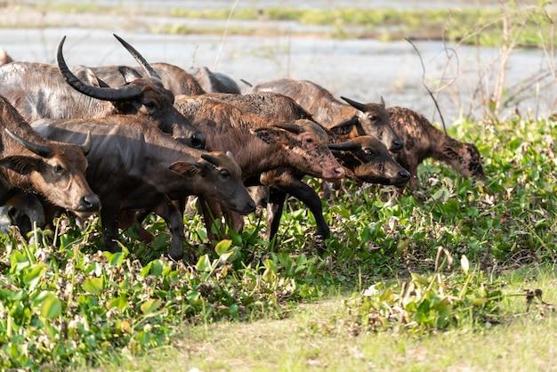 Grupo de búfalos saindo de um rio