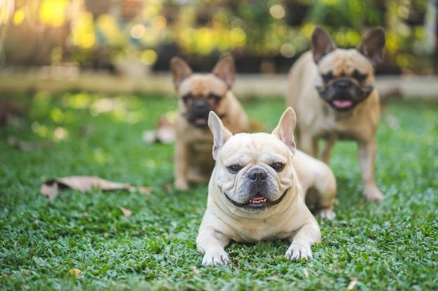 Grupo de bulldog francês deitado na grama no jardim. Foto Premium