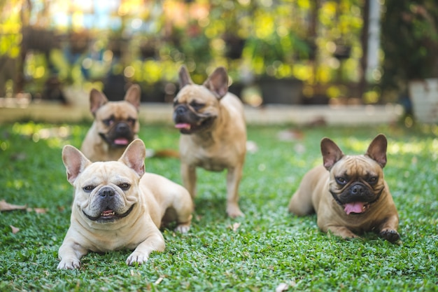 Grupo de bulldog francês deitado na grama no jardim.