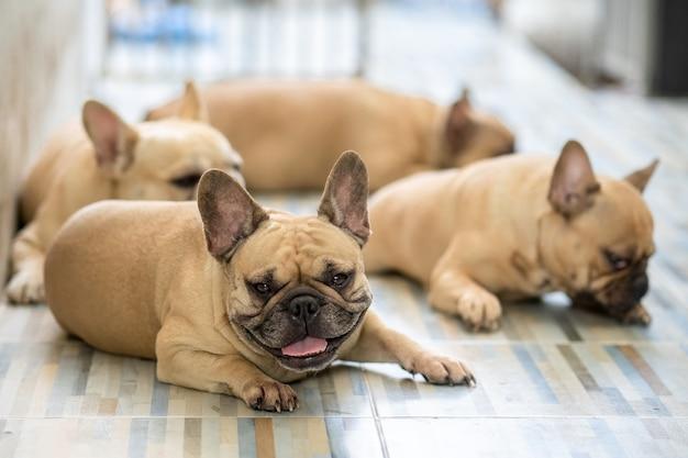 Grupo de bulldog francês deitado no chão de ladrilho interior.