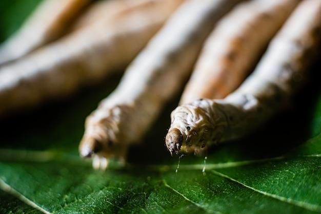 Grupo de cabeças de bichos da seda, bombyx mori, comendo folhas de amoreira com seus dentes afiados.