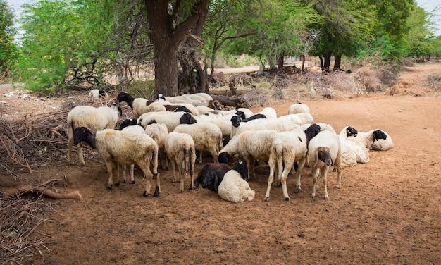 Grupo de cabra indiana ou ovelhas na aldeia