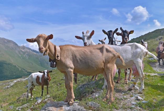 Grupo de cabras do rebanho alpino na montanha alta, olhando a câmera