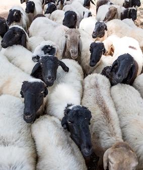Grupo de cabras indianas ou ovelhas