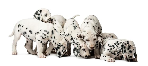 Grupo de cachorros dálmatas comendo em frente a uma parede branca