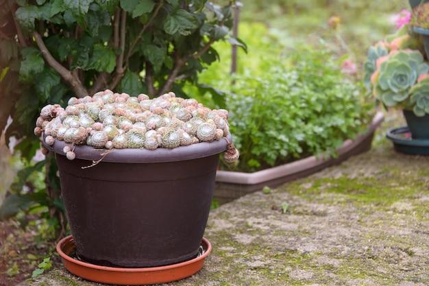 Grupo de cactos e suculentos em vaso ao ar livre no jardim. bonita planta tropical no deserto.