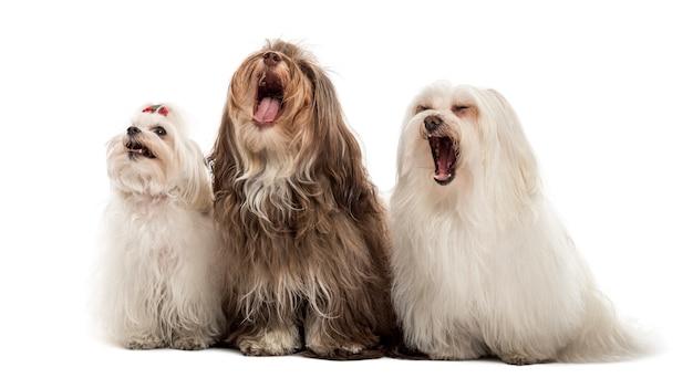 Grupo de cães maltês bocejando, sentados em uma fileira