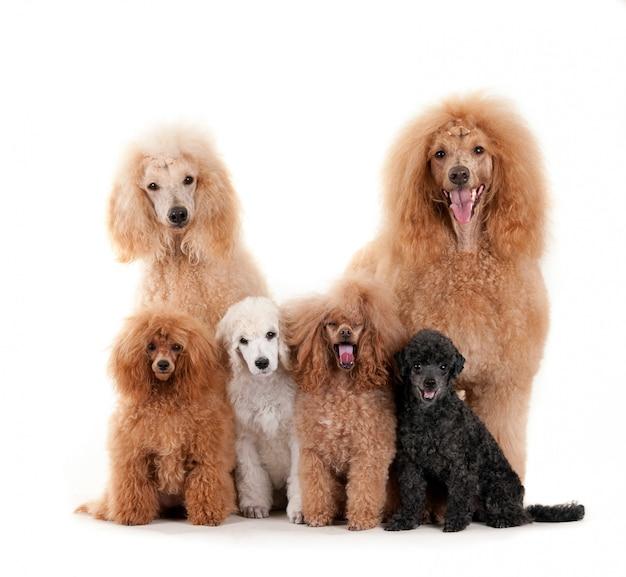 Grupo de cães poodle diferentes