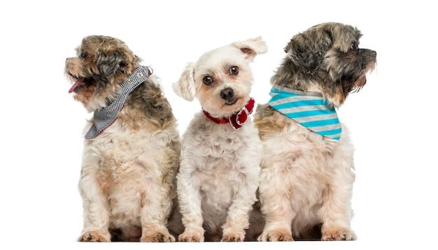 Grupo de cães sentado em uma fileira isolado no branco
