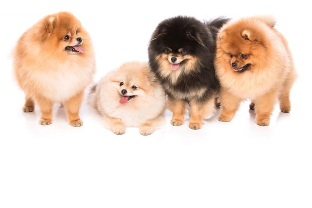 Grupo de cães spitz pomerânia