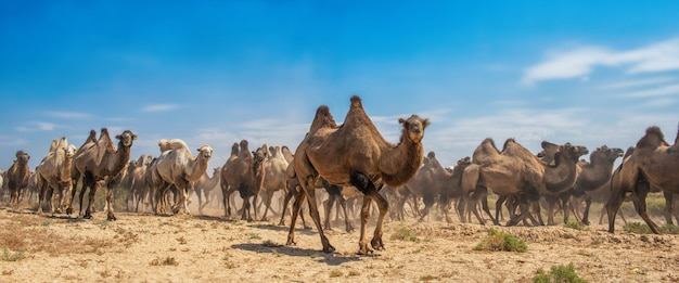 Grupo de camelos andando no deserto
