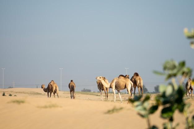 Grupo de camelos caminhando no deserto em abu dhabi emirados árabes unidos.