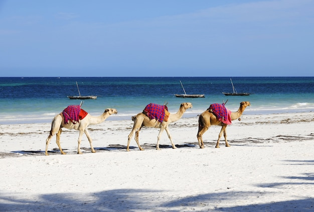 Grupo de camelos na praia diana no quênia, áfrica