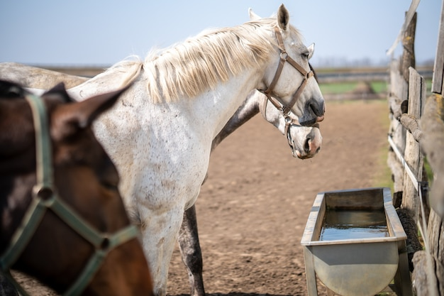 Grupo de cavalos com freios perto de um bebedouro em uma fazenda