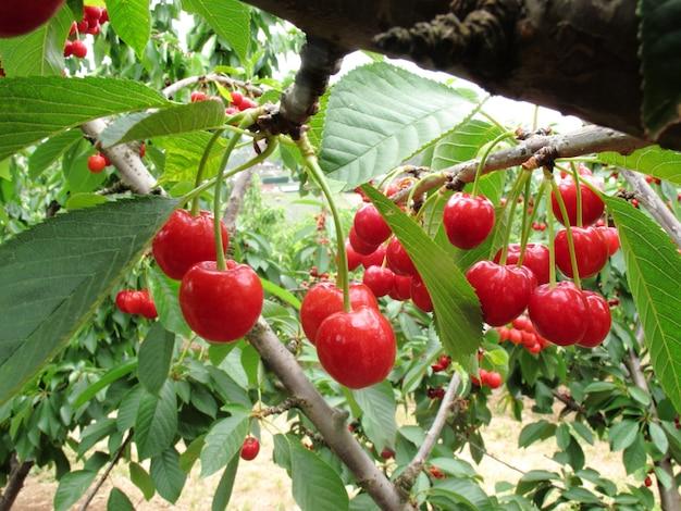 Grupo de cereja vermelha na árvore tem muitas folhas verdes na fazenda em melbourne